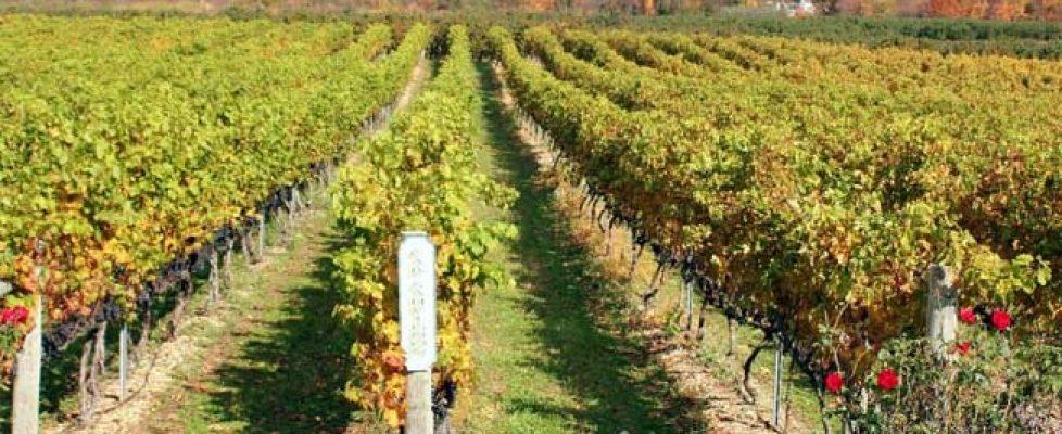 heritage-vineyard