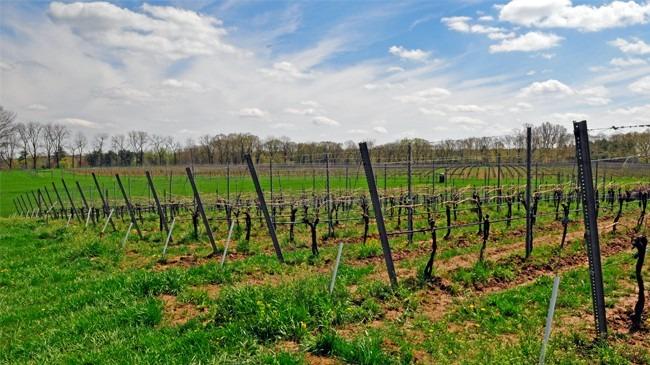 karamoor-estate-vineyard