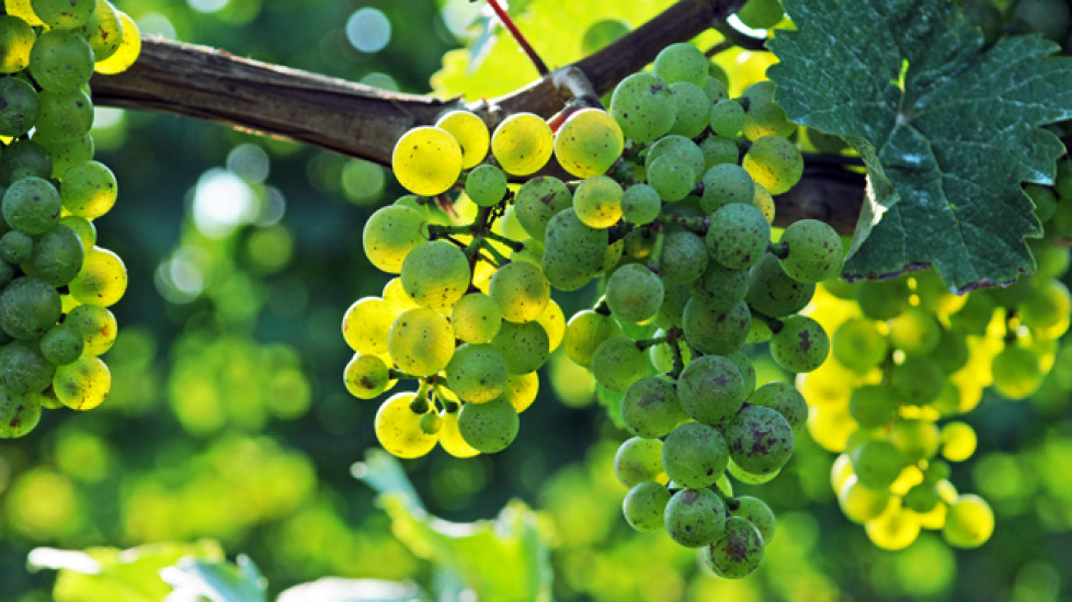 finger-lakes-riesling