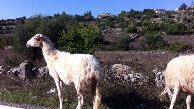 sicily-goats