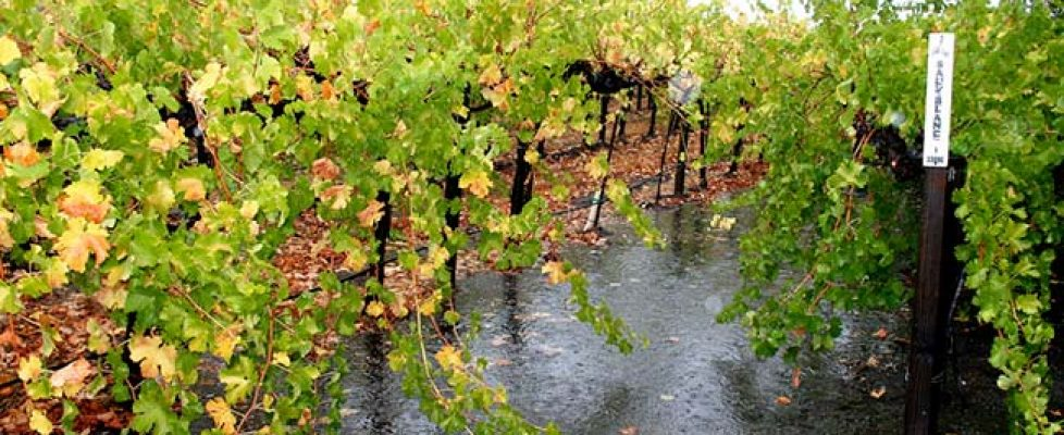 rainy-vineyard
